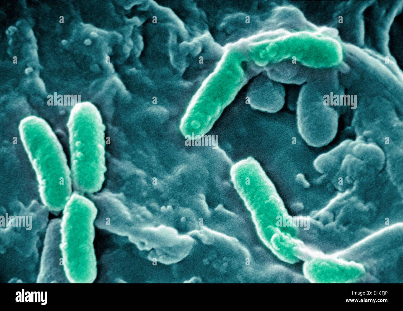 Electron Micrograph of Pseudomonas aeruginosa - Stock Image