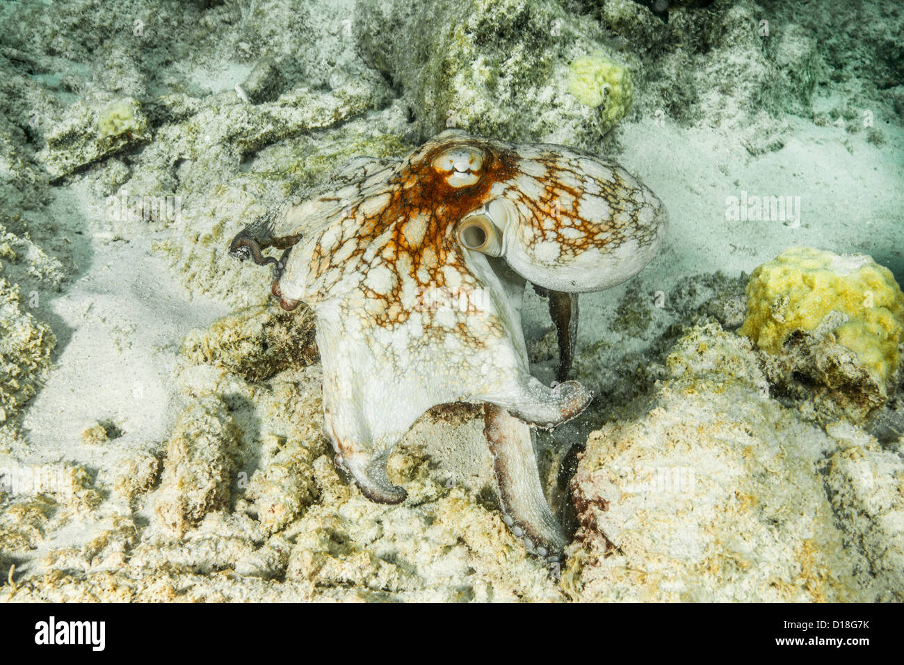 Octopus swimming at underwater reef - Stock Image