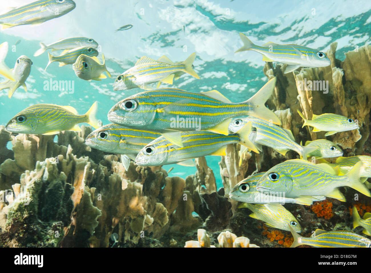 School of fish at underwater reef - Stock Image