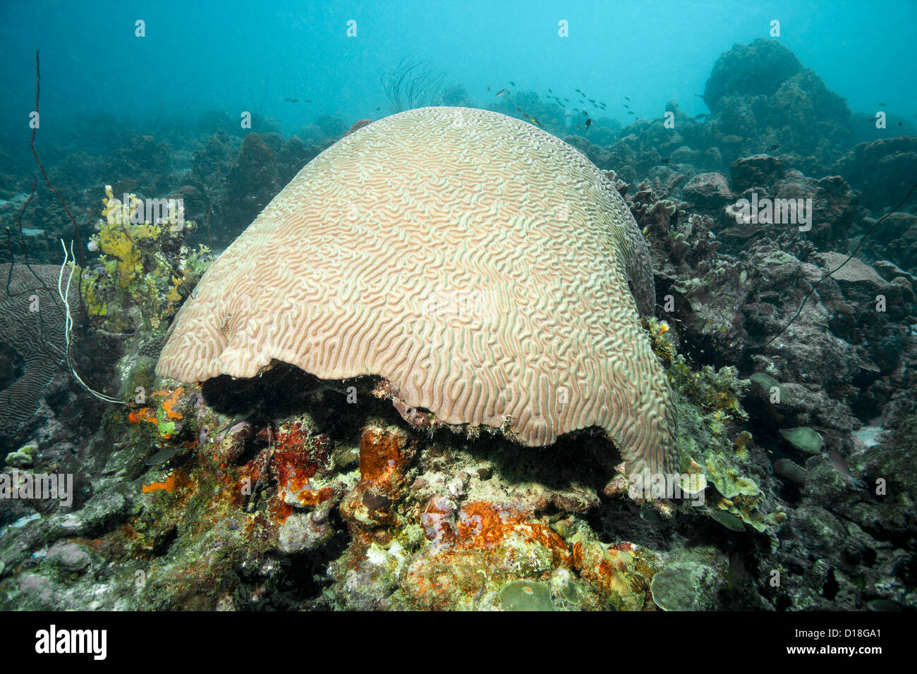 Brain coral at underwater reef - Stock Image