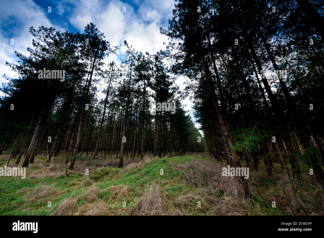 Scots Pine trees Thetford forest forestry  commission - Stock Image
