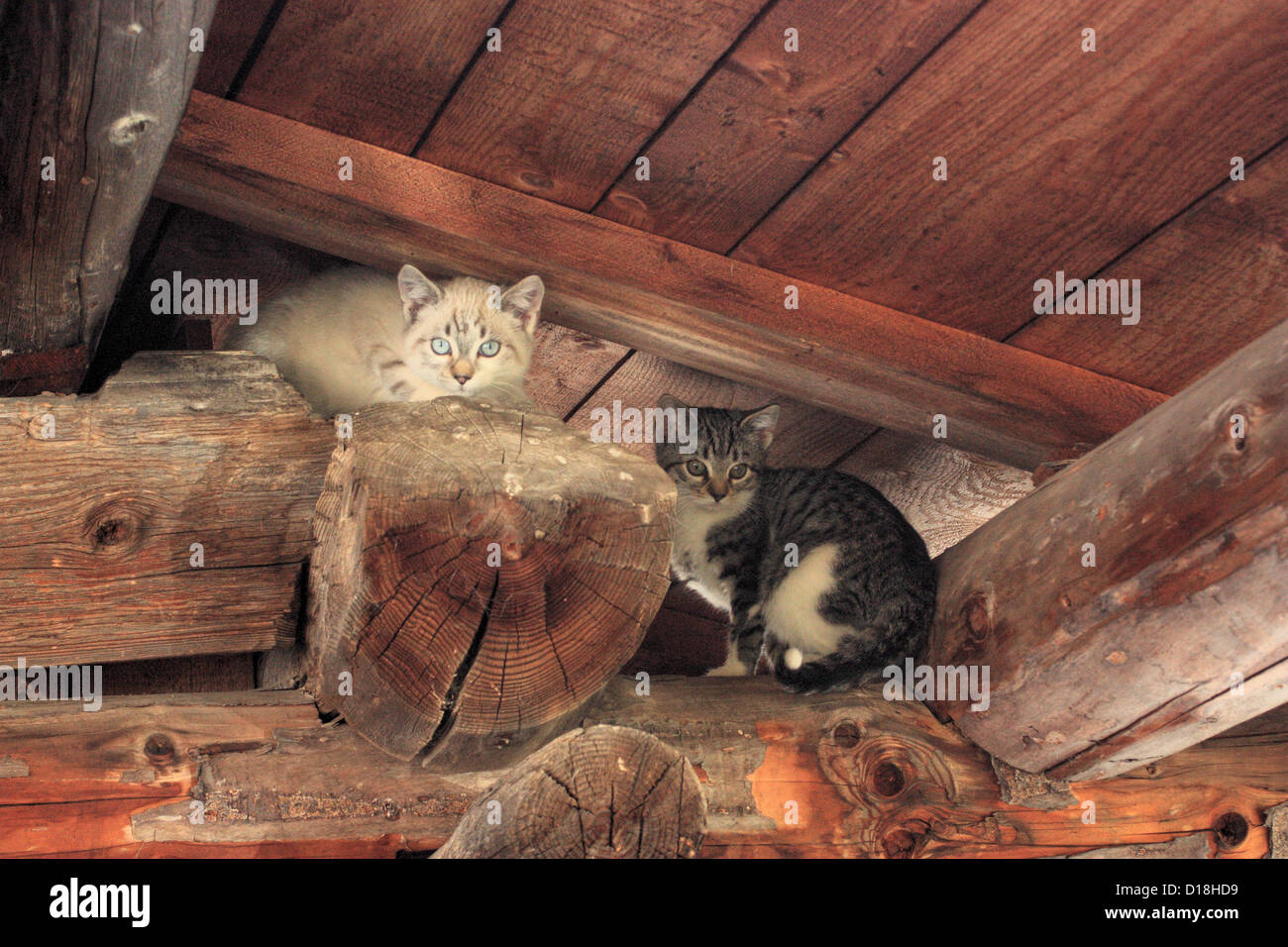Cats in a wooden roof top. Stock Photo