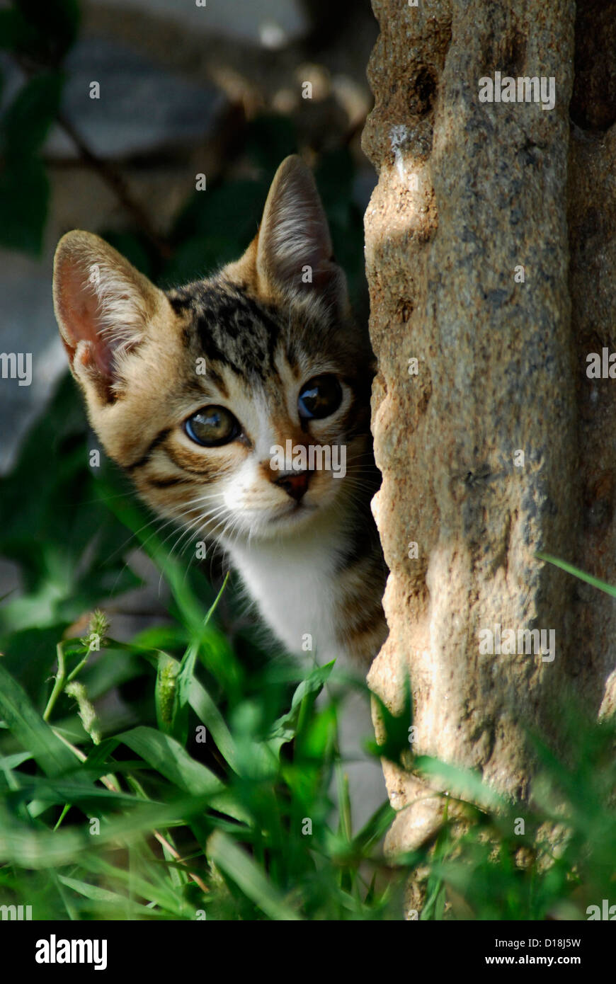 kitten, Tabby and White, peeps from behind a stone, portrait, Cyclades, Greece, Non-pedigree Shorthair, felis silvestris - Stock Image