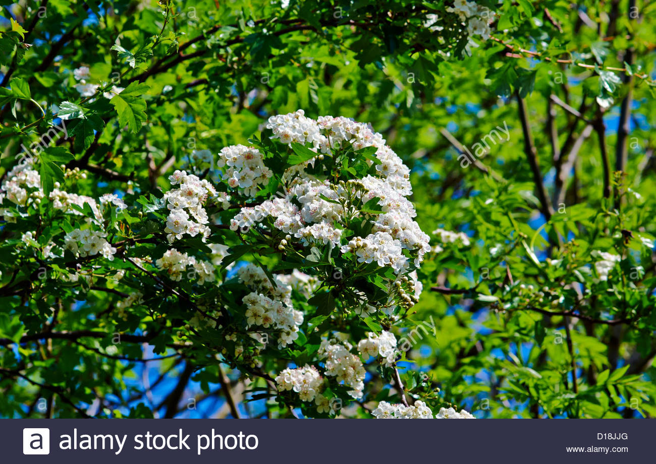 hawthorn tree blossom in the springtime - Stock Image