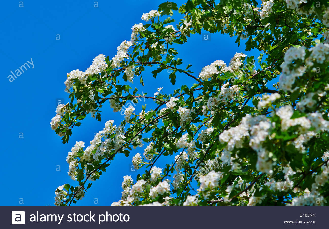 hawthorn tree blossom in the springtime against a blue sky - Stock Image