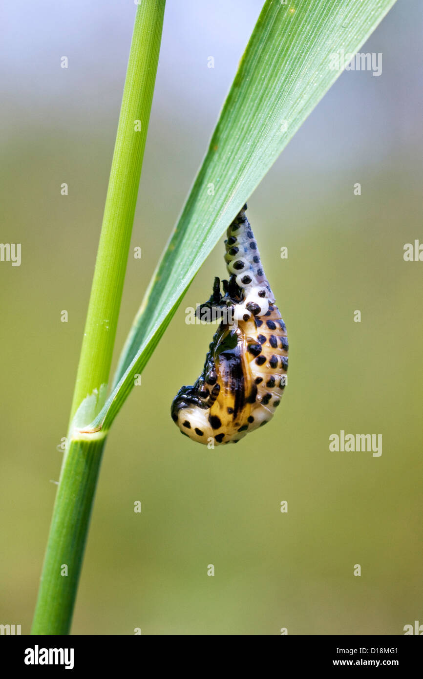 Ladybird in pupal stage (Coccinellidae) hanging from leaf - Stock Image