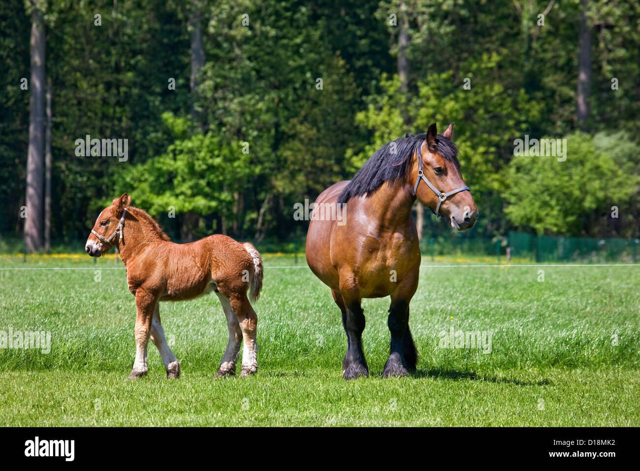 Foal and mare Belgian draft horse / Belgian Heavy Horse / Brabançon / Brabant, draft horse breed in Belgium - Stock Image