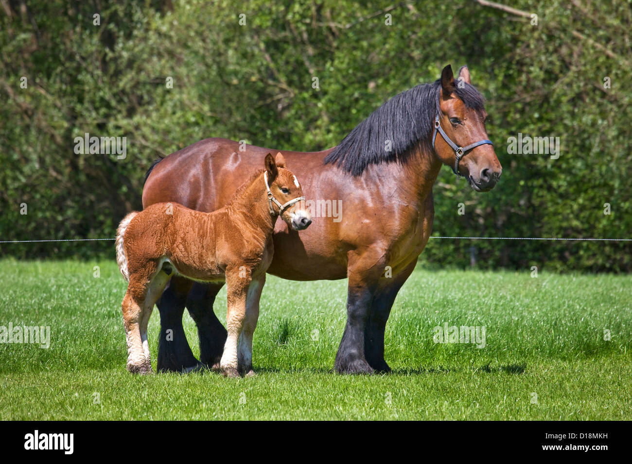 Foal and mare Belgian draft horse / Belgian Heavy Horse / Brabançon / Brabant, draft horse breed in Belgium - Stock Image