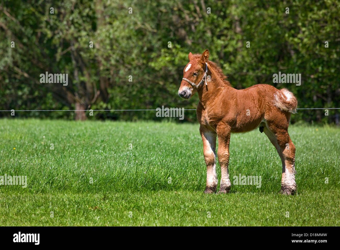 Belgian draft horse / Belgian Heavy Horse / Brabançon / Brabant, foal in pasture, Belgium - Stock Image