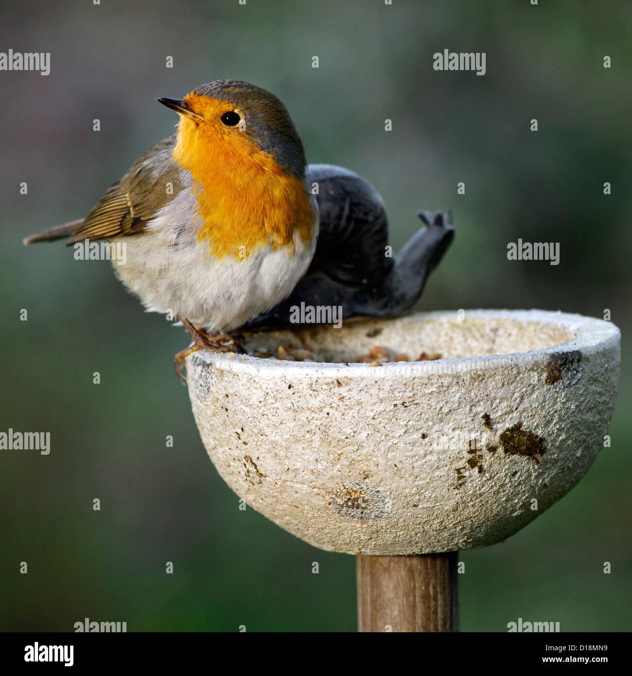 European Robin (Erithacus rubecula) on birdfeeder in garden in winter - Stock Image