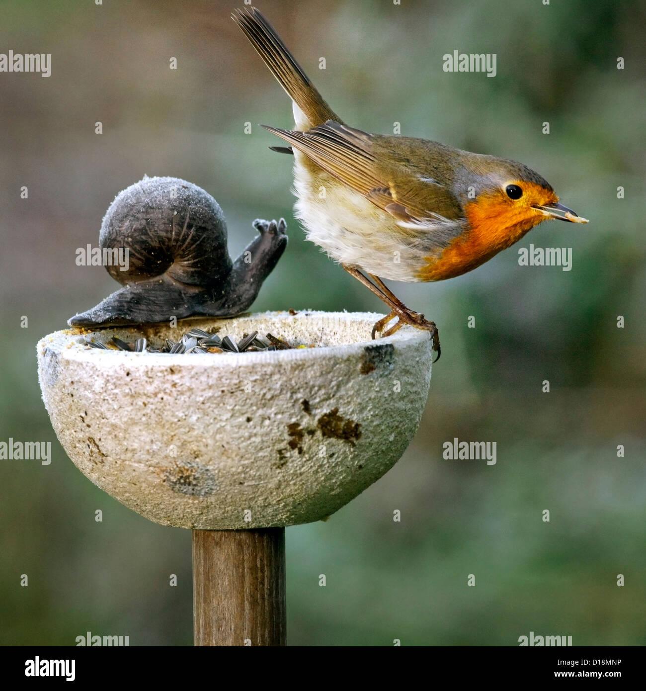 European Robin (Erithacus rubecula) on bird feeder in garden in winter - Stock Image