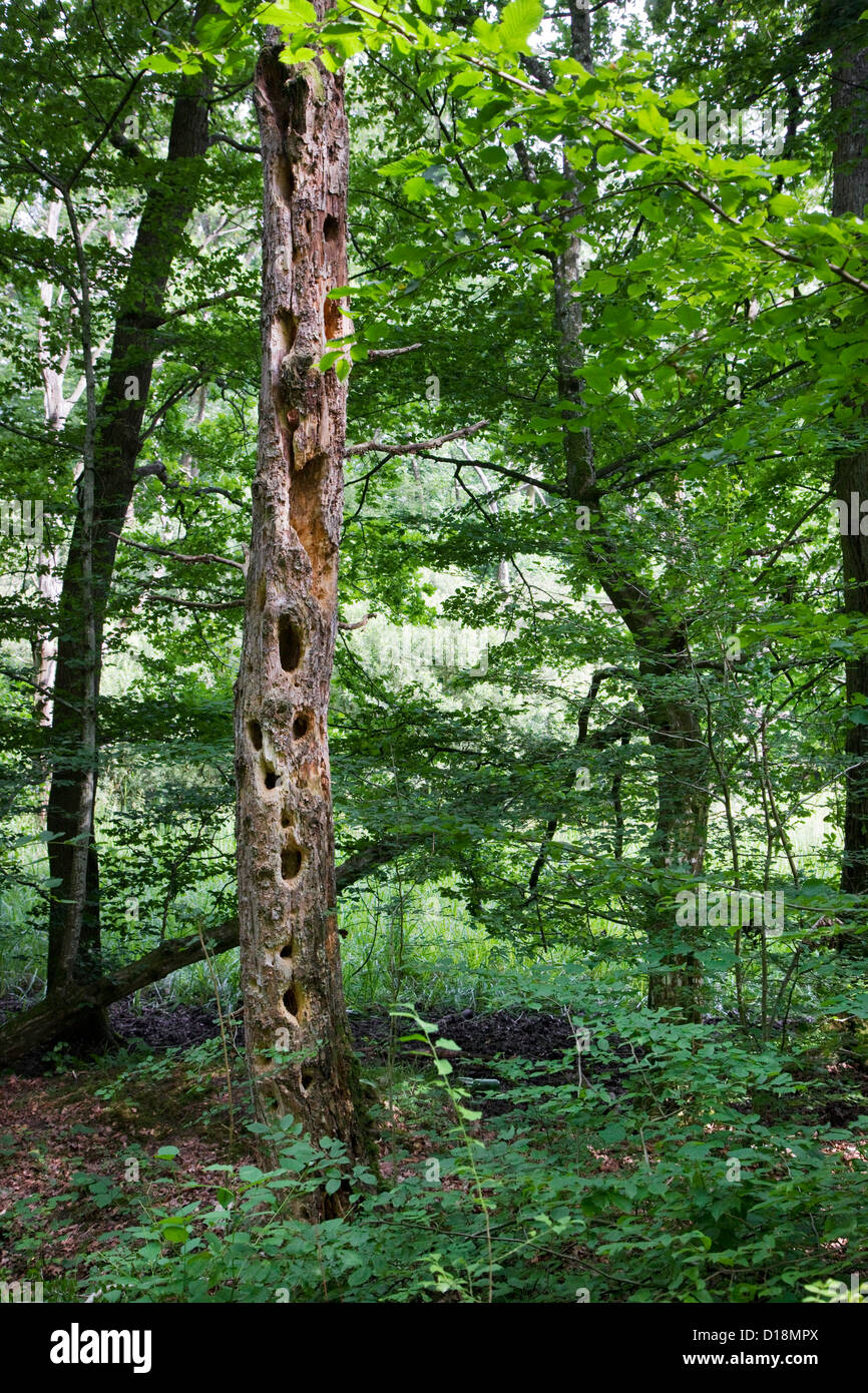 Dead tree trunk in forest riddled by chipped out large holes from woodpecker - Stock Image