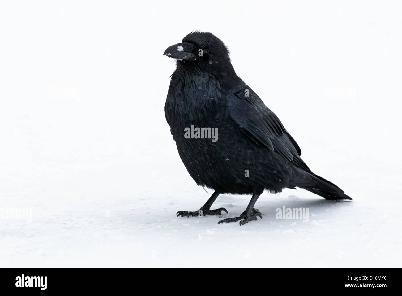Raven in snow storm at the Columbia icefields - Jasper national park - Stock Image