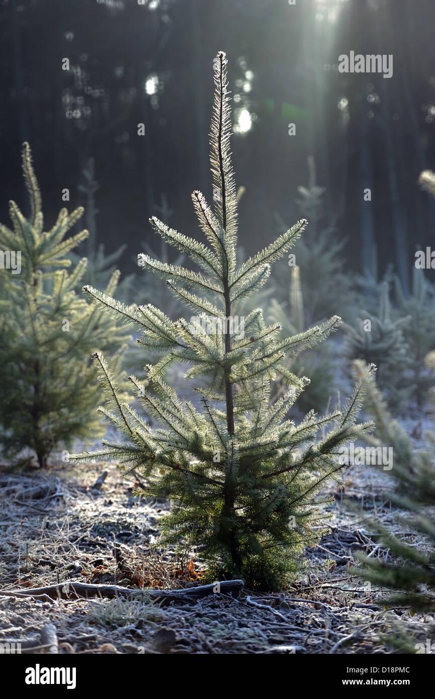 christmas Christmas trees - Stock Image