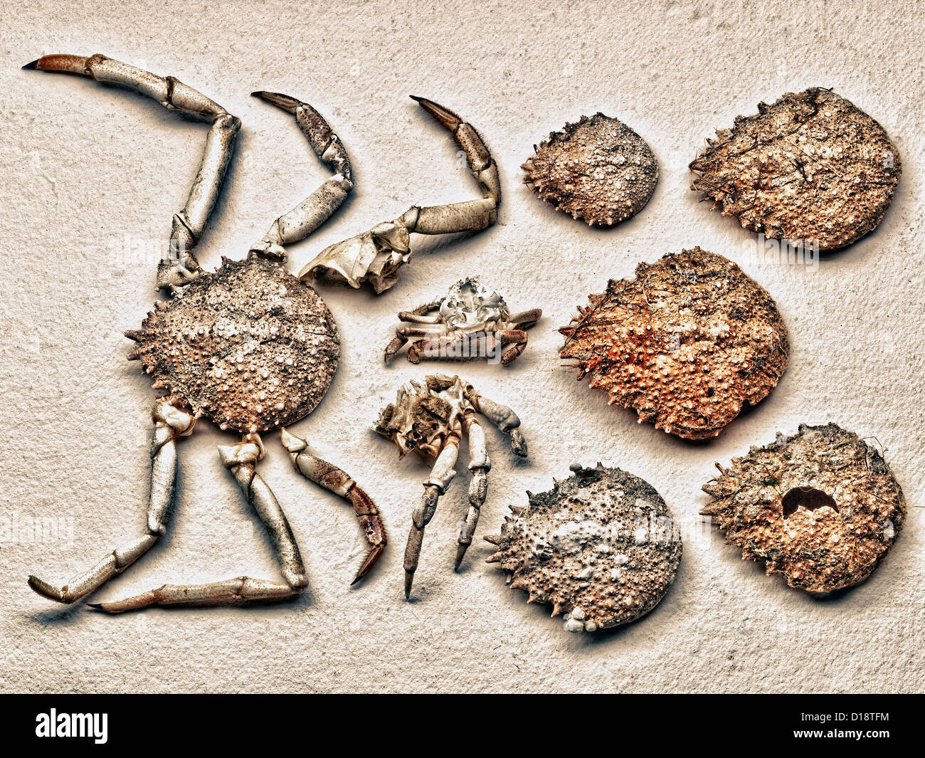 Pieces of crab shell - Stock Image