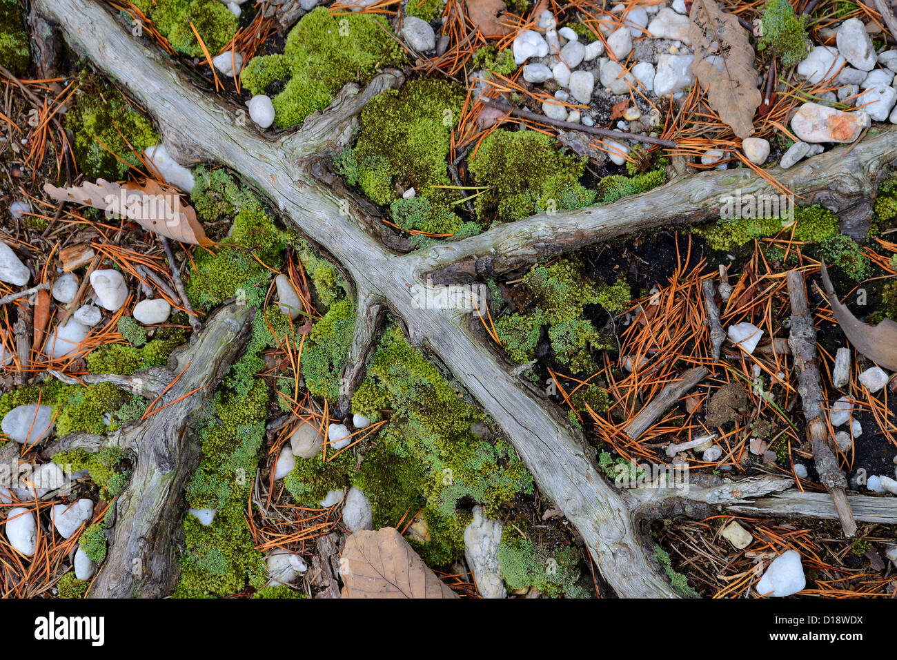Tree Root & Moss, Forest Ground Detail - Stock Image