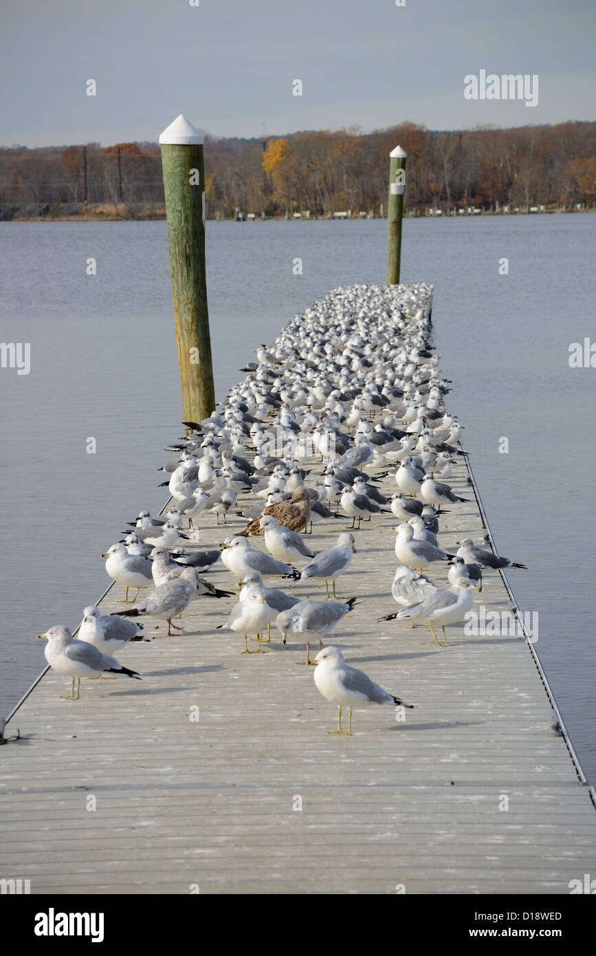 Many Seagulls On Pier - Stock Image