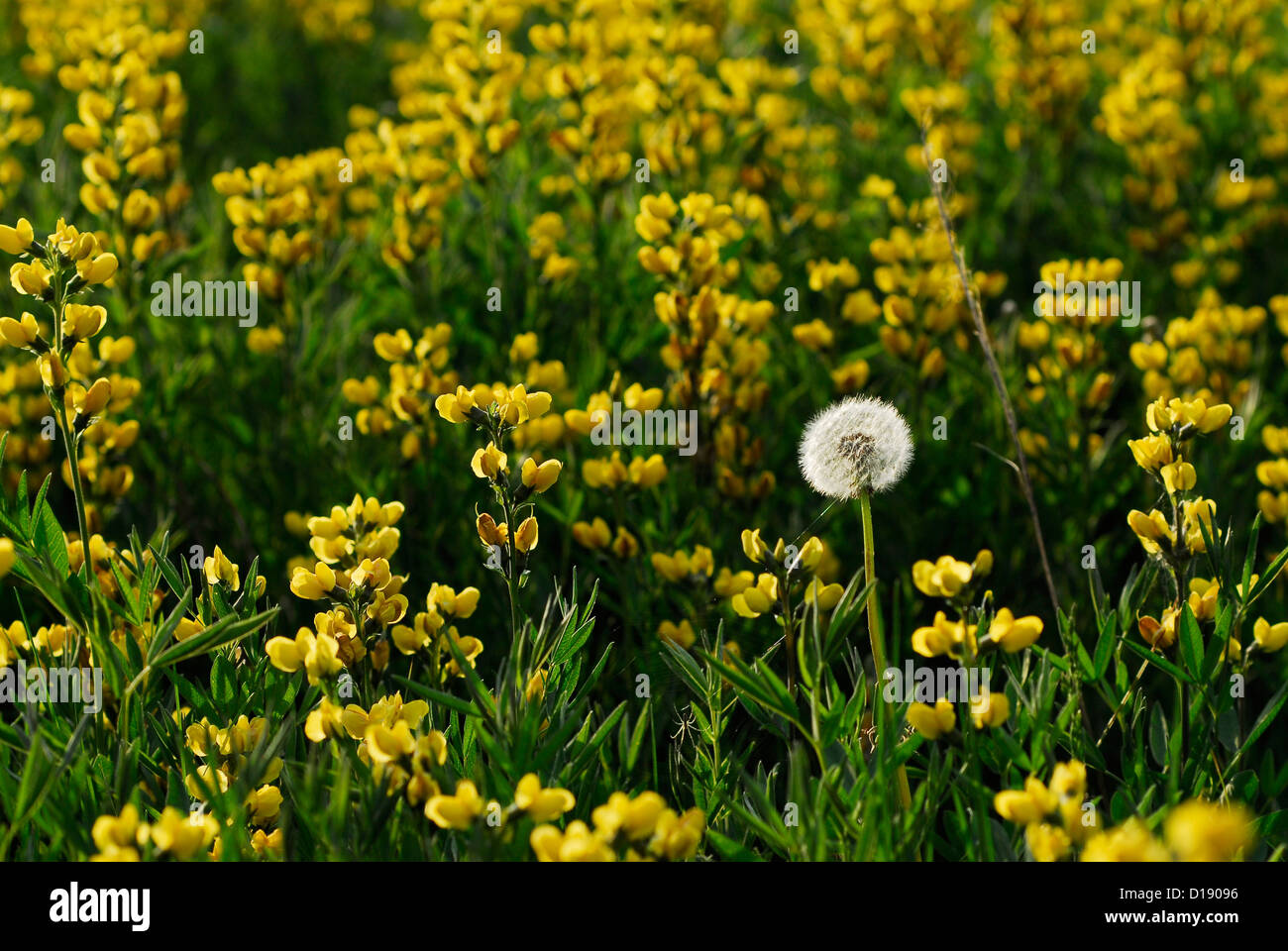 Dandilion and yellow lupine in a meadow in the Uinta Mountains of Utah. - Stock Image