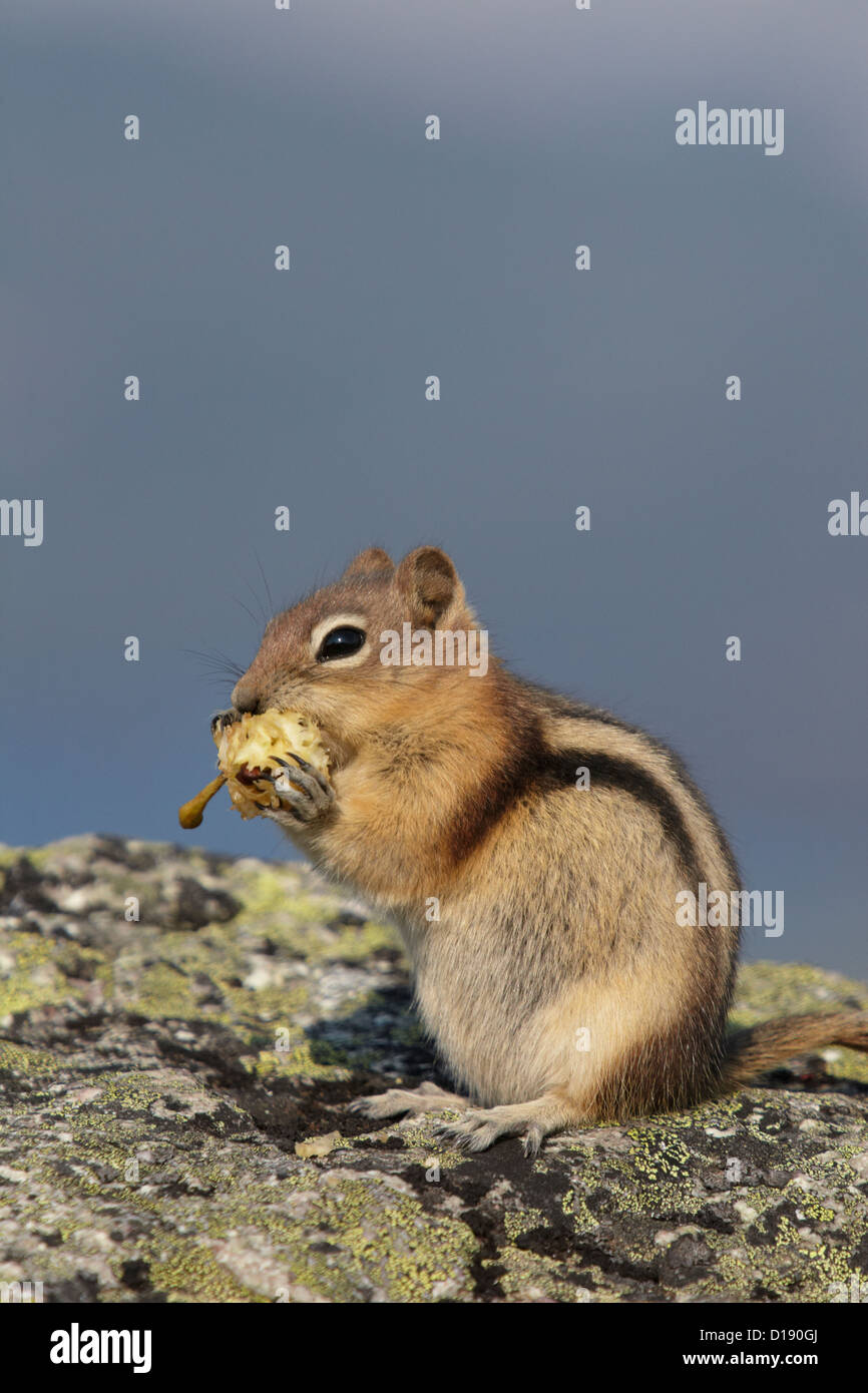 Golden-mantled ground squirrel (Spermophilus lateralis) feeding on a discarded apple core, in Jasper National Park, - Stock Image