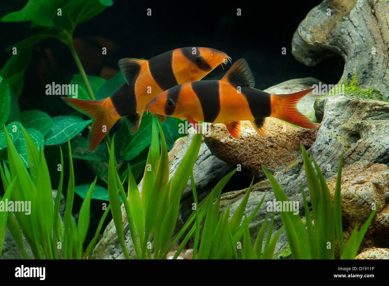 Two beautiful clown loaches in a home aquarium. - Stock Image
