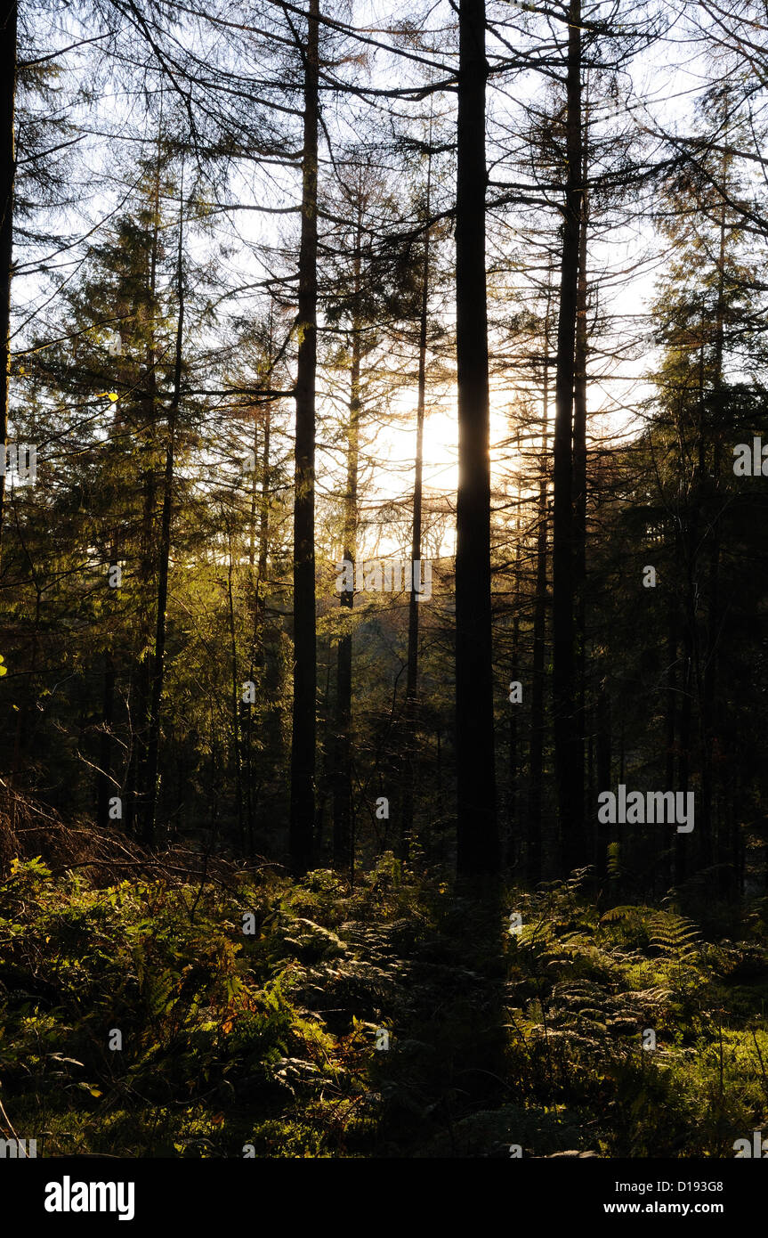 Late evening light through conifer trees Brechfa  Forest Carmarthenshire Wales Cymru UK GB - Stock Image