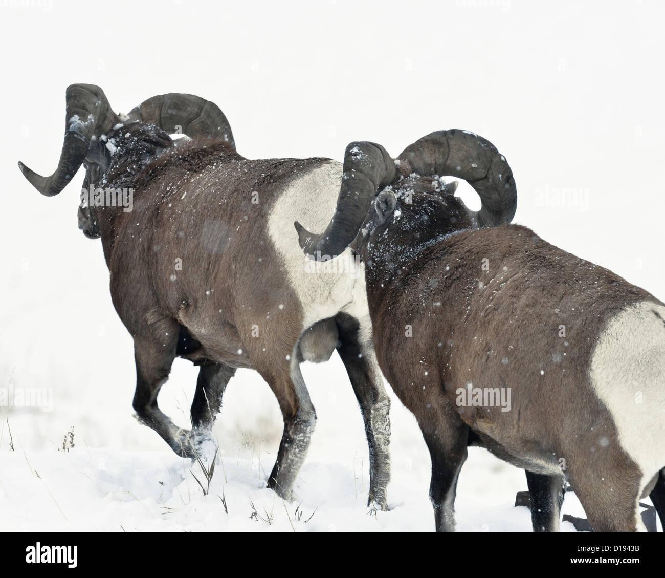 Two bighorn rams walking away through the deep winter snow. - Stock Image