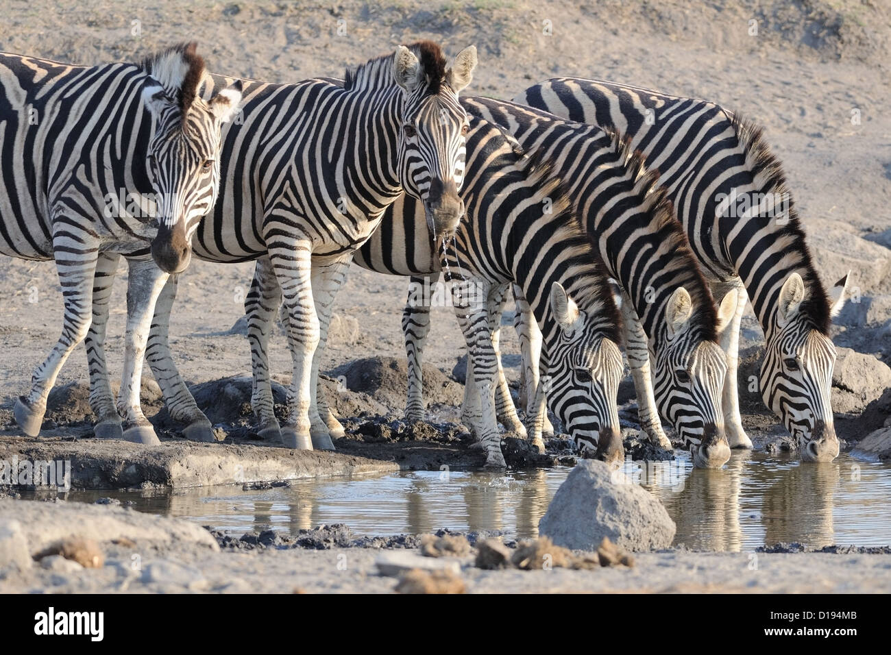 Burchell's zebras (Equus quagga burchellii) drinking at waterhole, Kruger National Park, South Africa, Africa Stock Photo