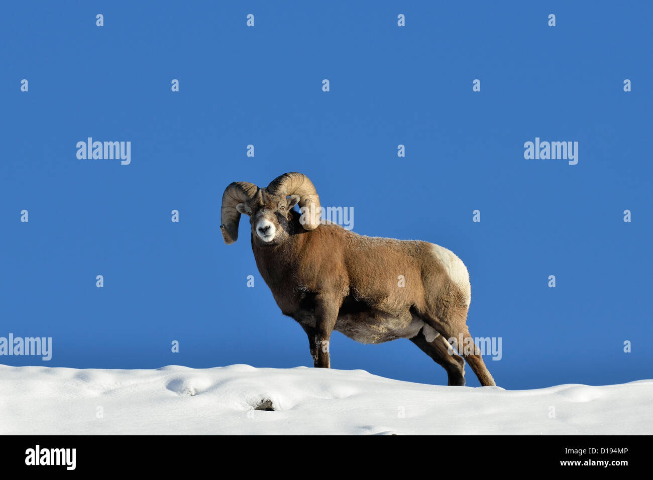 A mature Bighorn ram standing on a snow covered mountain ridge against a blue sky. - Stock Image