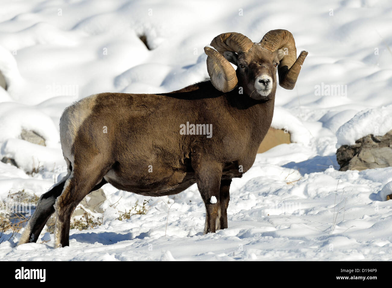 A mature Bighorn ram standing on a snow covered hillside foraging for food. - Stock Image