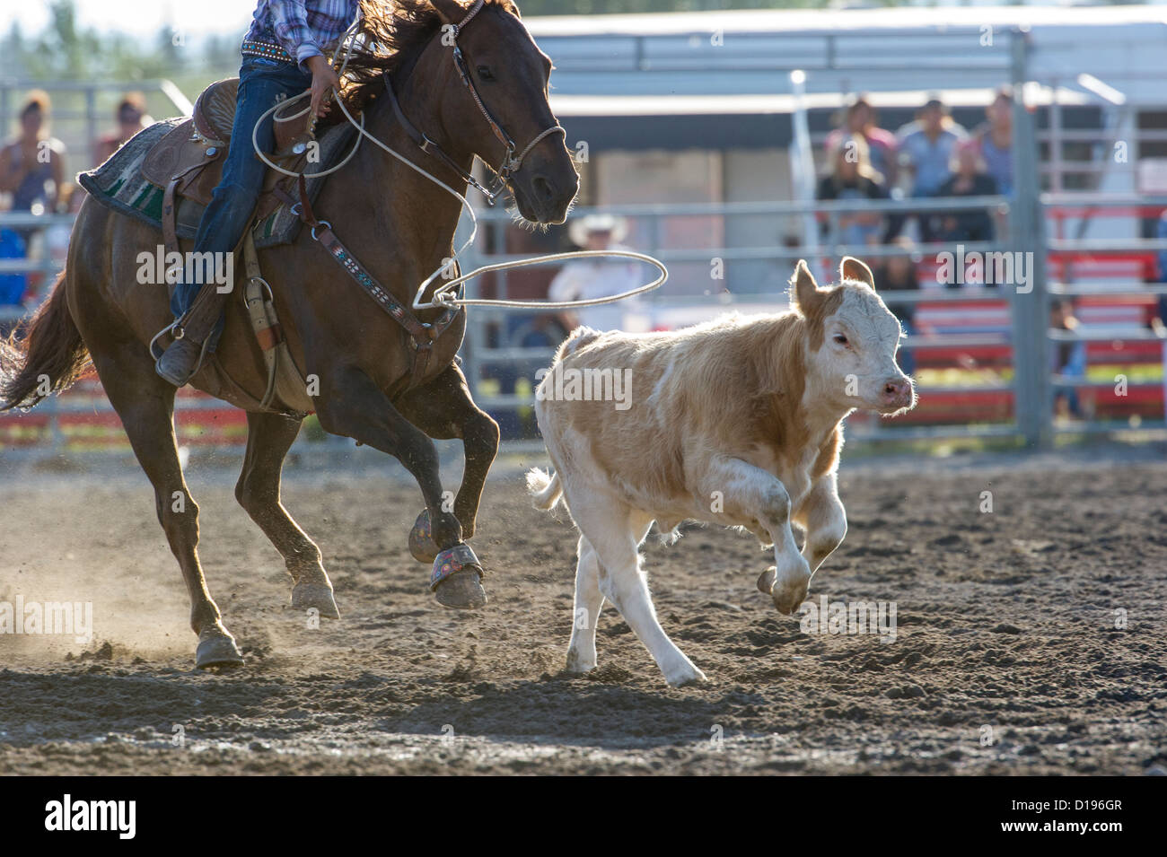 Breakaway roping event at the Tsuu T'ina Rodeo held every July, in Bragg Creek Aberta - Stock Image