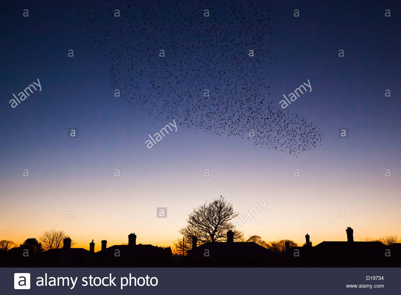 Starling murmuration (Sturnus vulgaris), in winter at dusk, Gretna, Scotland, UK, November 2012 - Stock Image