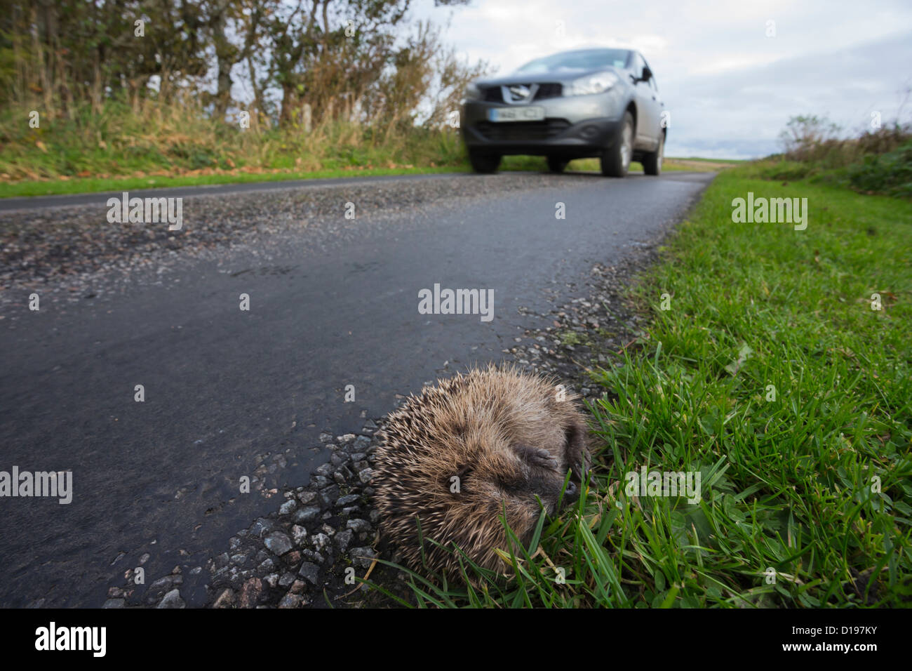 Hedgehog (Erinaceus europaeus), dead on the side of the road, UK, Islay, Scotland, October 2012 - Stock Image