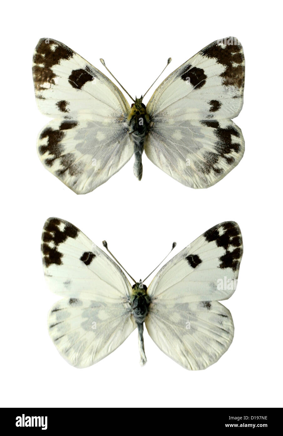 Bath White Butterflies, Pontia daplidice, Pieridae, Lepidoptera. Female (top), Male (bottom). Stock Photo