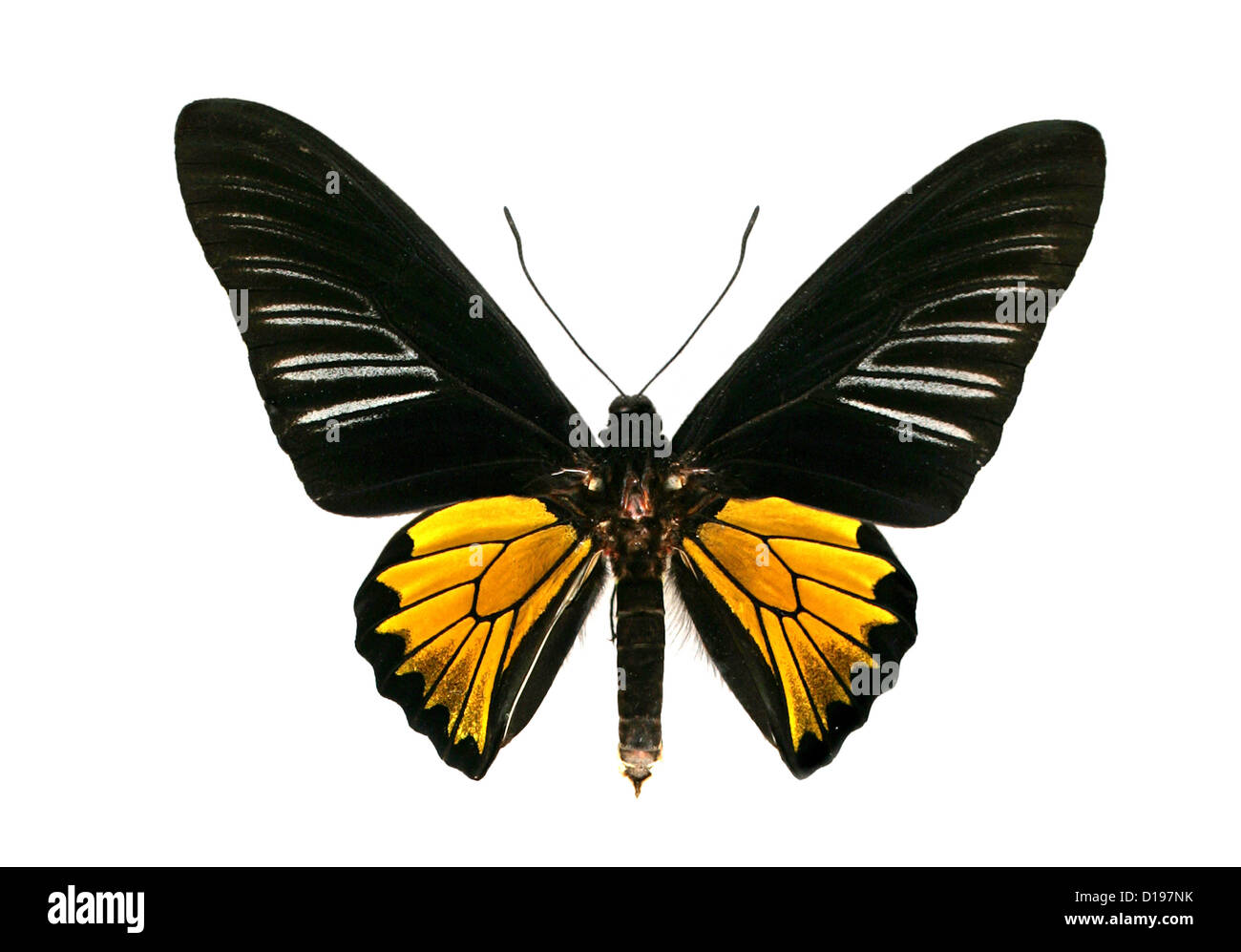 Common Birdwing Butterfly, Troides helena cerberus, Papilionidae, Lepidoptera. India and Asia. Male. - Stock Image