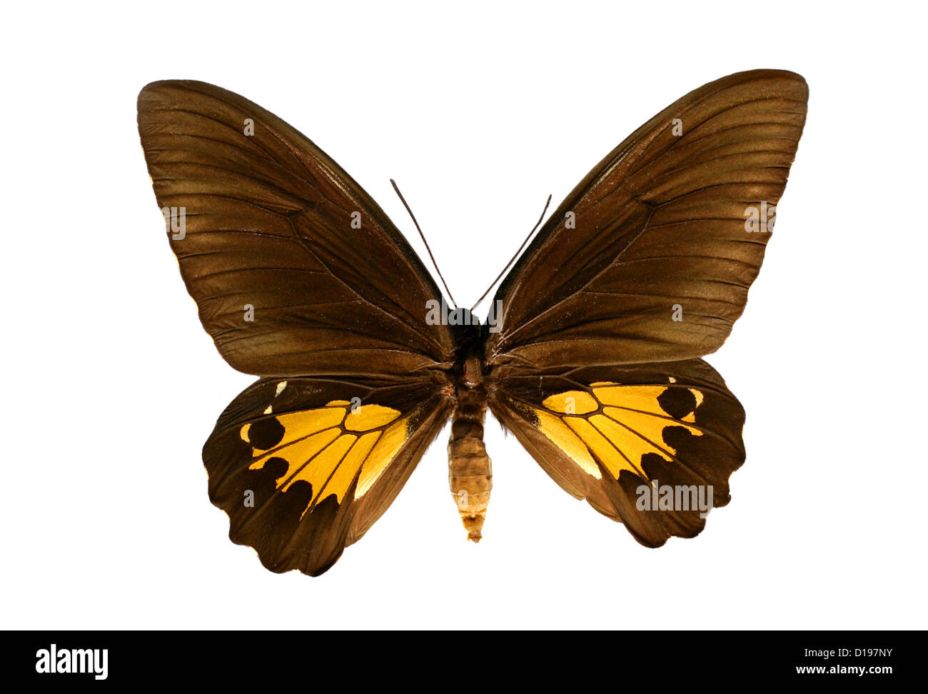 Common Birdwing Butterfly, Troides helena, Papilionidae, Lepidoptera. Female. India and Asia. - Stock Image