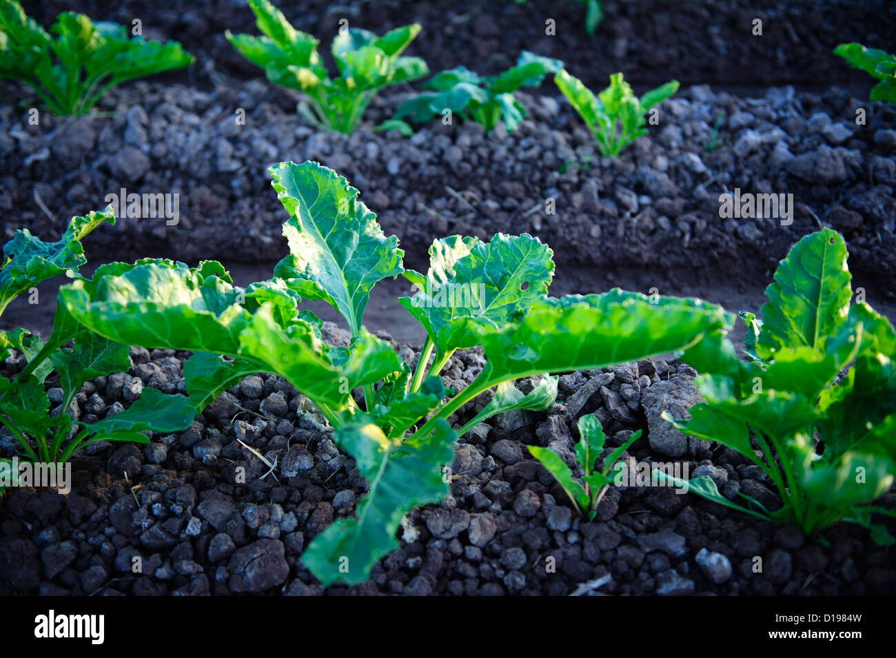 Sugar Beet field in the Imperial Valley of California - Stock Image