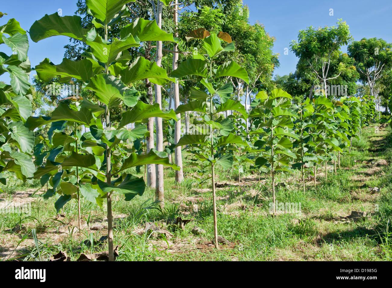 Teak Wood Plantation Stock Photos Teak Wood Plantation