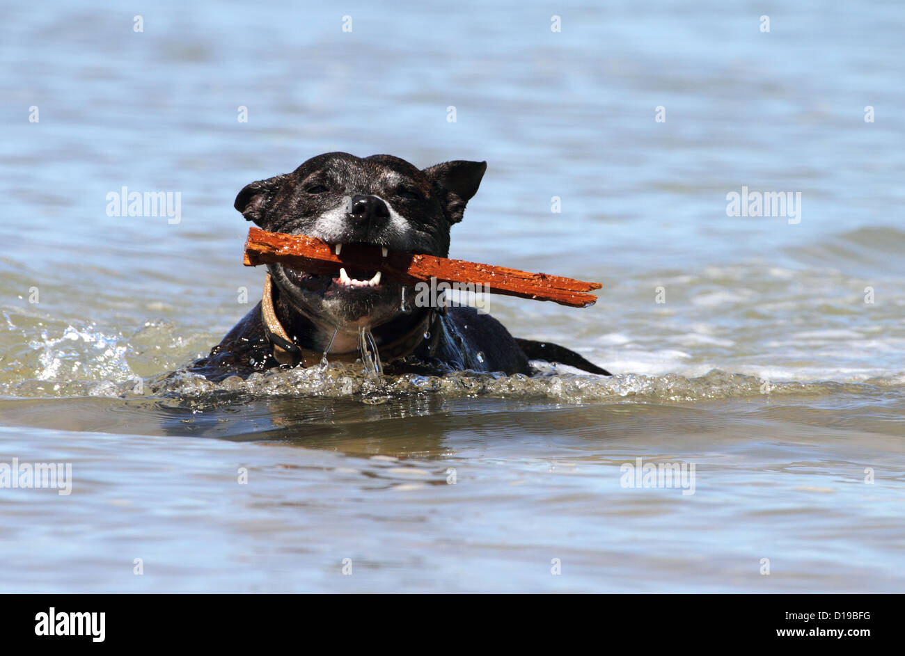 Staffordshire bull terrier swimming whilst carrying a stick - Stock Image