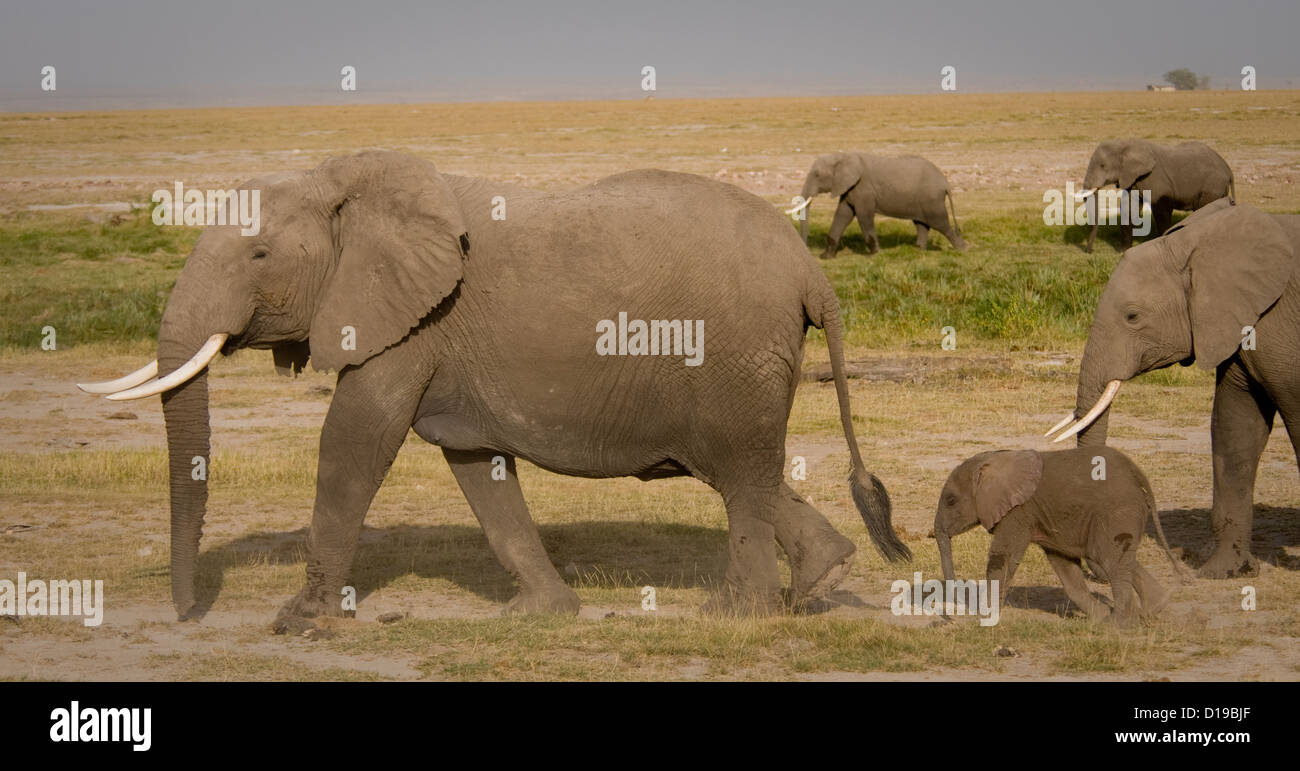 Two elephants and a calf walking on the plains - Stock Image