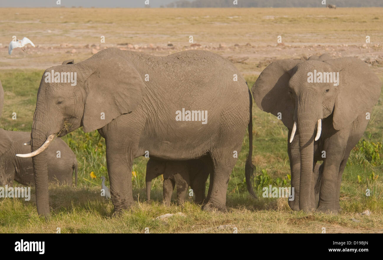 Two elephants and a calf on the plains - Stock Image