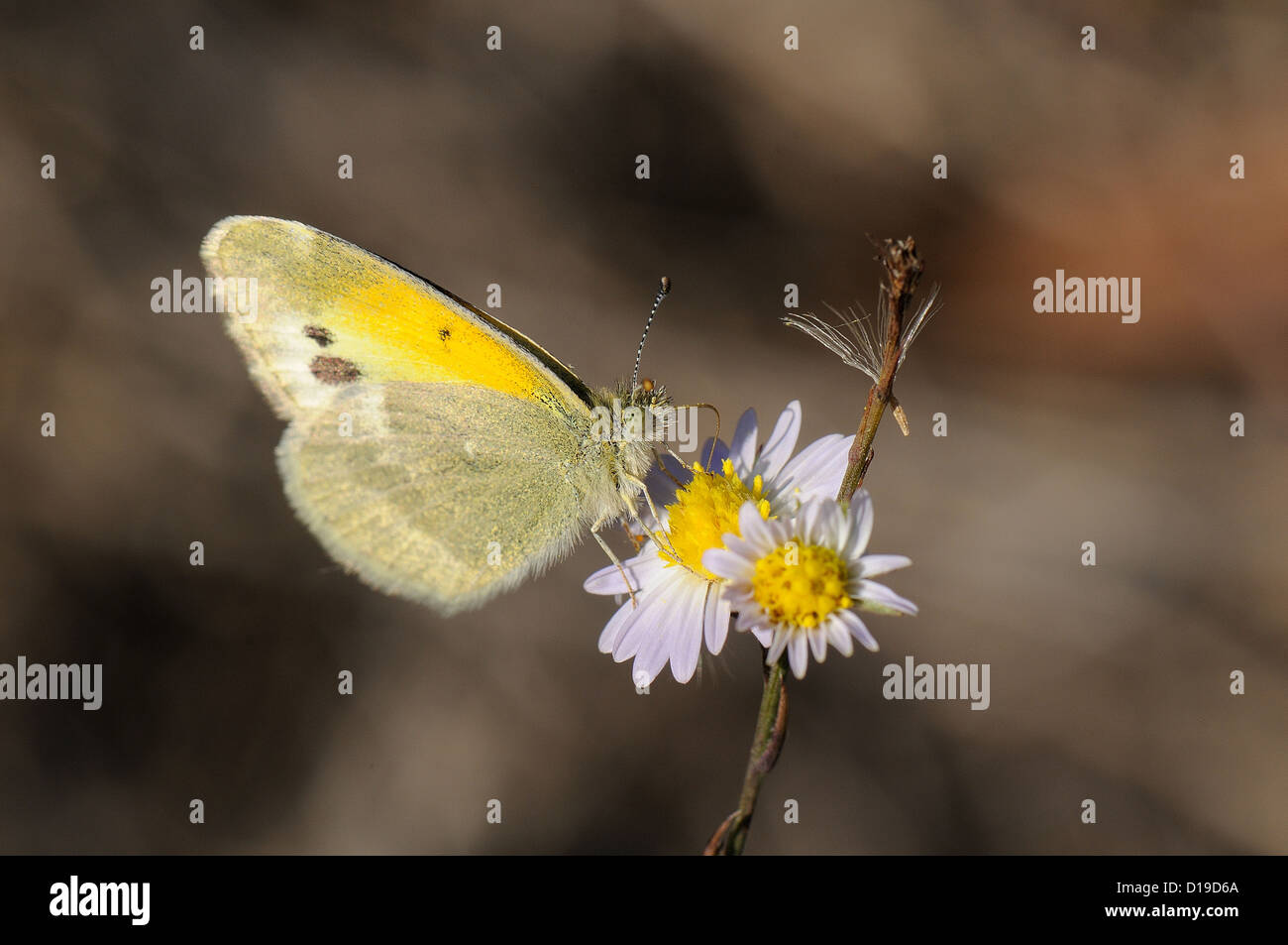 Dainty Sulphur on Aster - Stock Image