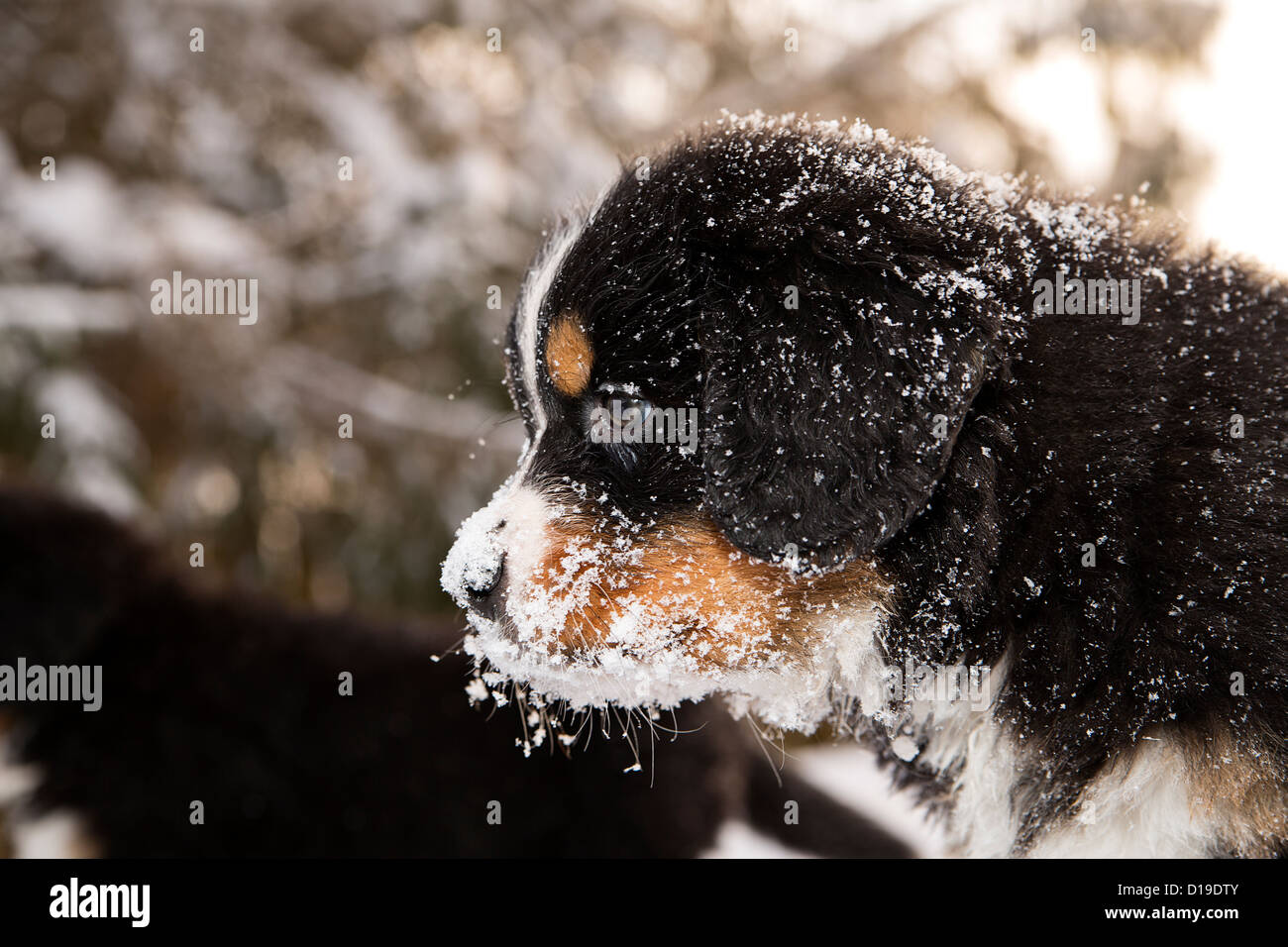 Snowy bernese mountain dog puppet looking after others - Stock Image