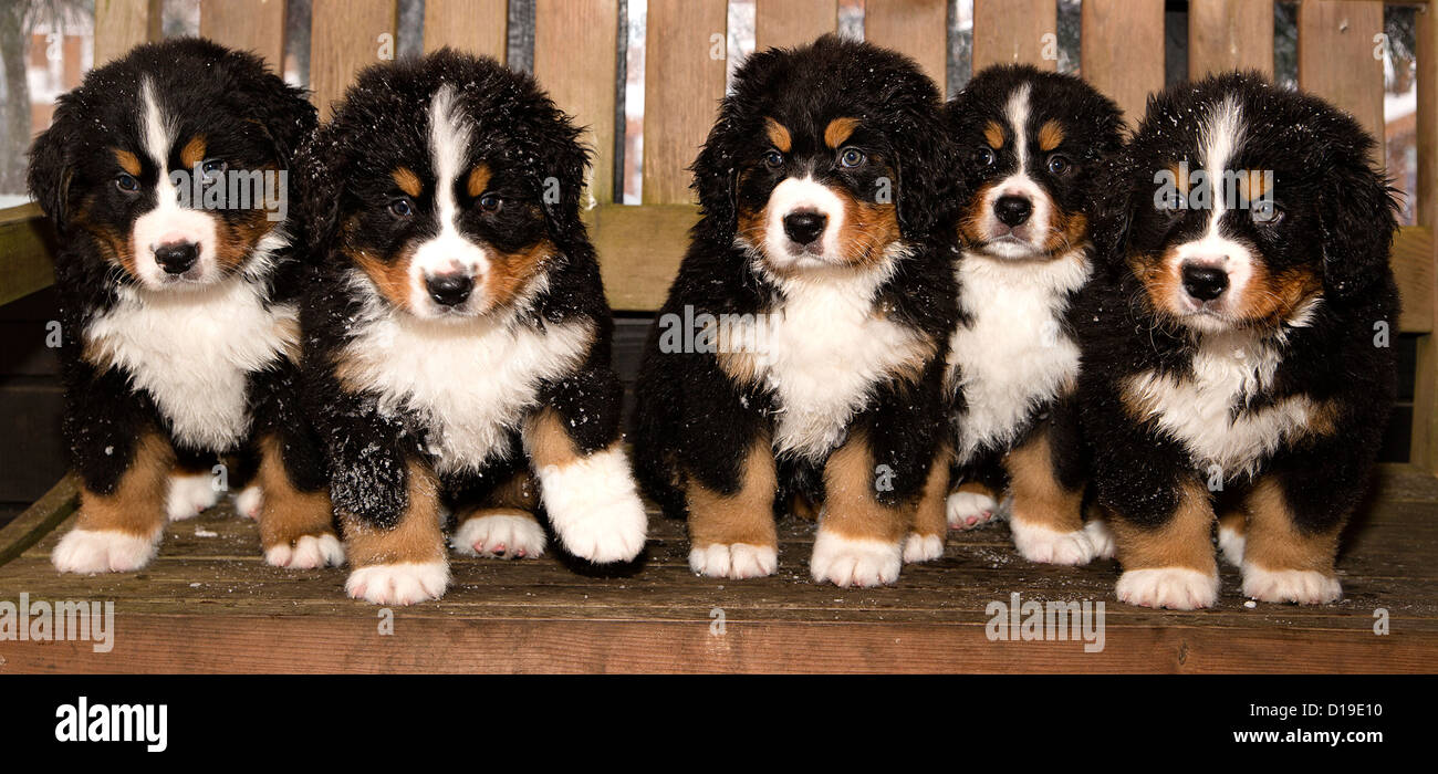 All bernese mountain dog puppets are finally home Stock Photo