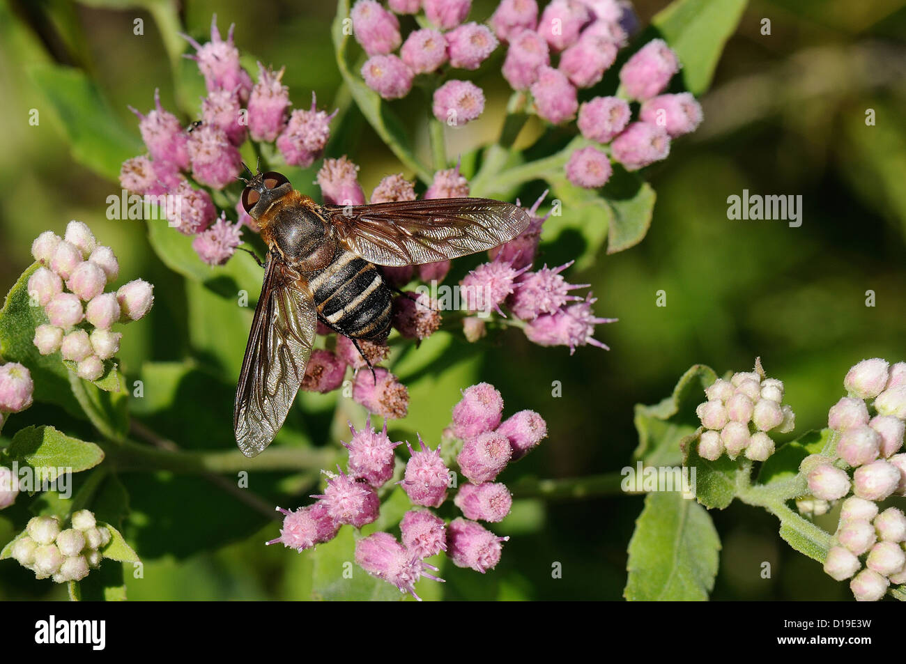 Progressive Bee Fly - Stock Image