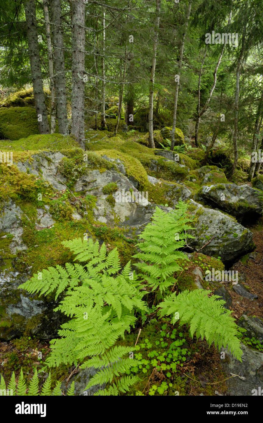 Woodland, Jostedalen valley, Sogn og Fjordane, Norway - Stock Image