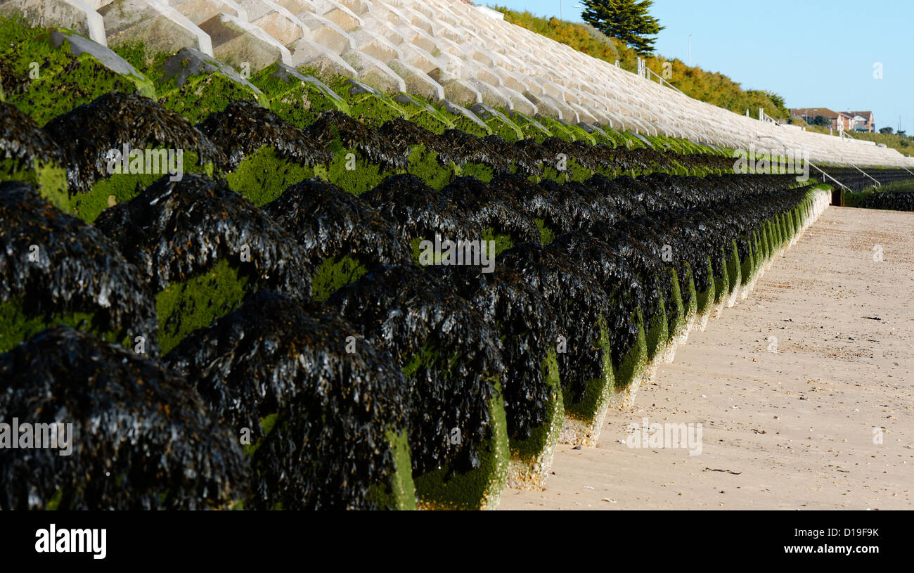 Concrete Wave Walker units covered in seaweed protect the promanade from coastal erosion at Clacton, UK. - Stock Image