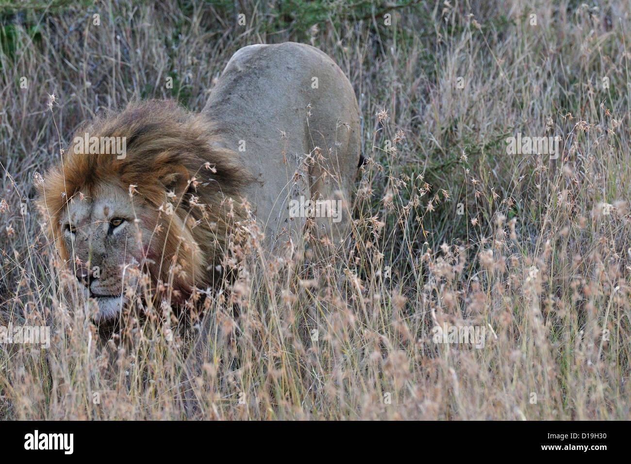 Male of lion (Panthera leo), Mugie Sanctuary, Kenya, Africa - Stock Image