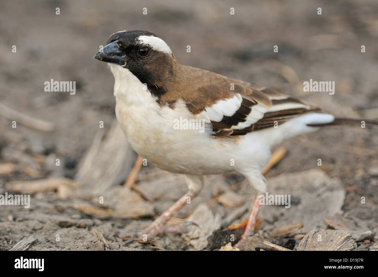 White-browed Sparrow-Weaver  Plocepasser mahali, Chawo Lake, Nechisar National Park, Arna Minch, Etiopia, Africa - Stock Image