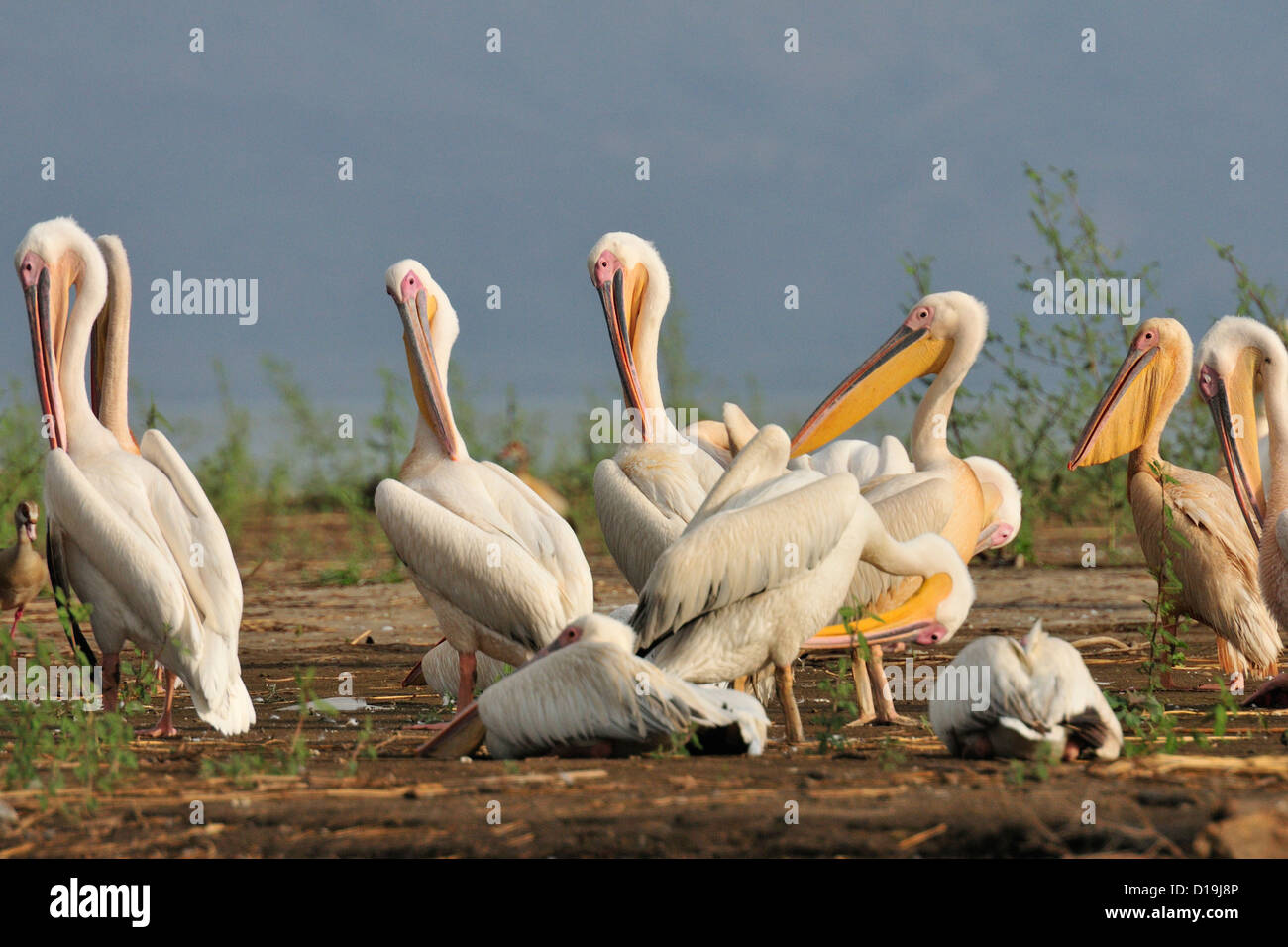 Great White Pelican Pelecanus onocrotalus, Chawo Lake, Nechisar National Park, Arna Minch, Etiopia, Africa Stock Photo