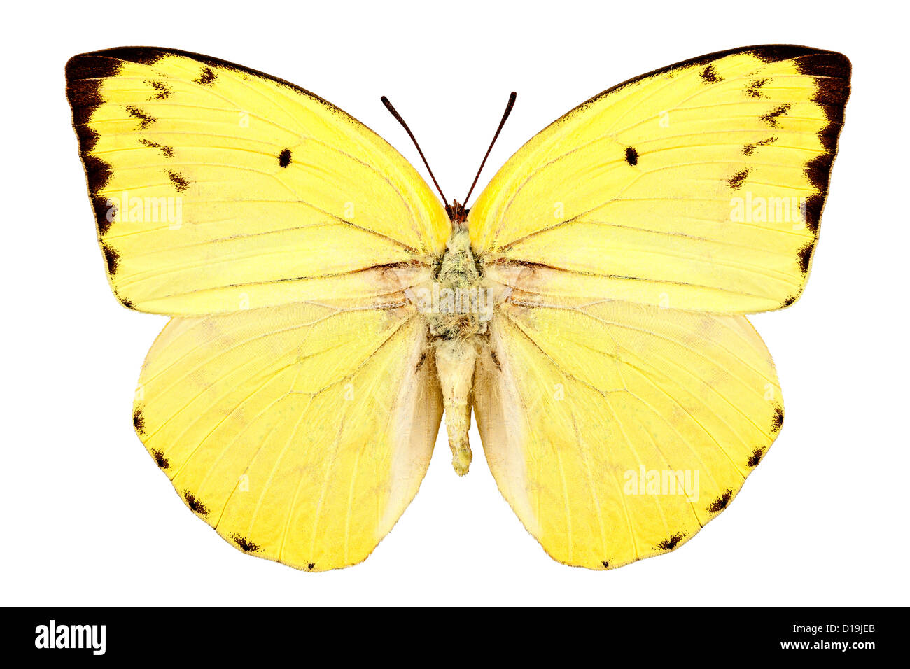 Butterfly species Catopsilia pomona pomona 'Lemon Emigrant' - Stock Image